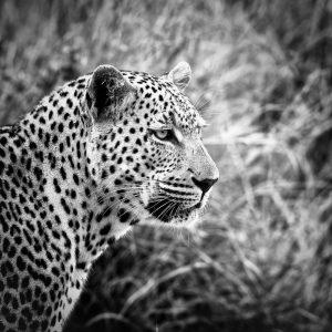 Resultado de imagen de fotografia artistica leopardo