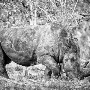 Rinoceronte de lado